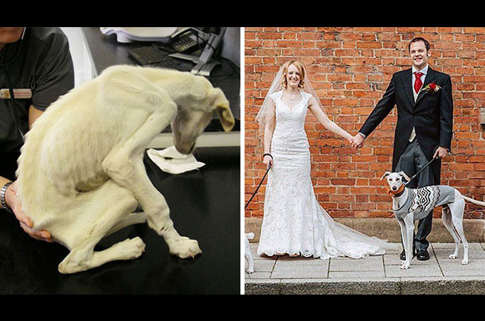 残酷なカップルに虐待され世界で最も痩せこけた犬 新しい飼い主さんの結婚式で見違えるほど素敵な姿に