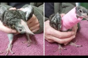 「害虫」の動物として扱われ安楽死させられてしまう負傷した鳩を救った人々