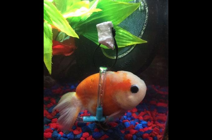 膀胱の病気を患い浮力を制御出来なくなった金魚が再び自分の力で泳ぎだす