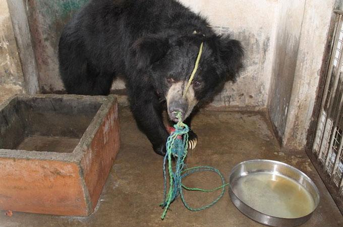 金儲けの道具としてクマをコントロールするため鼻に穴を開けロープが通される
