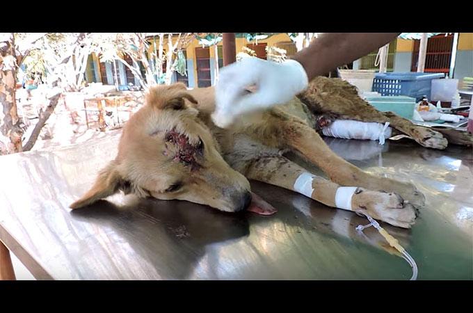 事故で大ケガを負った犬 傷ついた体で尻尾を振り続け救助スタッフに感謝の気持ちを体で表す