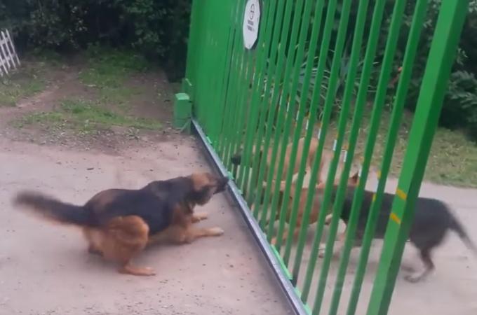 鉄柵越しに吠え合う犬たち。そこで鉄柵を開いてあげる事に!そして、犬たちのとった行動とは!