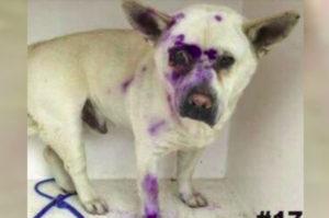 ぺイントボールガンで顔面を集中的に狙われ、酷い虐待を受けた犬が発見され保護される。