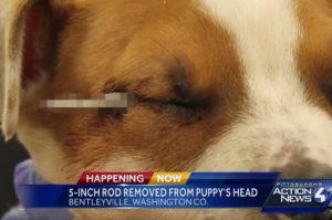 虐待によって金属が顔面を貫通した子犬が、病院に運び込まれ、その後奇跡的に助かる