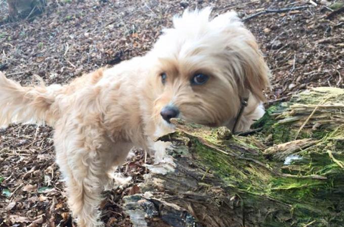 散歩中にトウモロコシ畑を通りトウモロコシの芯を食べてしまった犬。その後、体調不良を訴え命を落とす