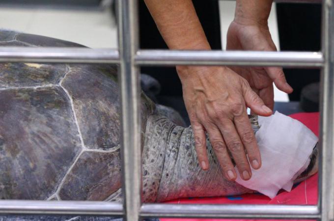 人々が願い事をする幸運の池で硬貨915枚の飲み込み手術したウミガメ。医師が尽力するも天国へと旅立つ