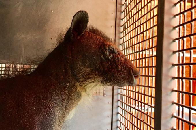 人間に拉致され幸せな家族との生活を壊されたクマ。ストレスから体毛が抜け落ちたその姿に心が痛む