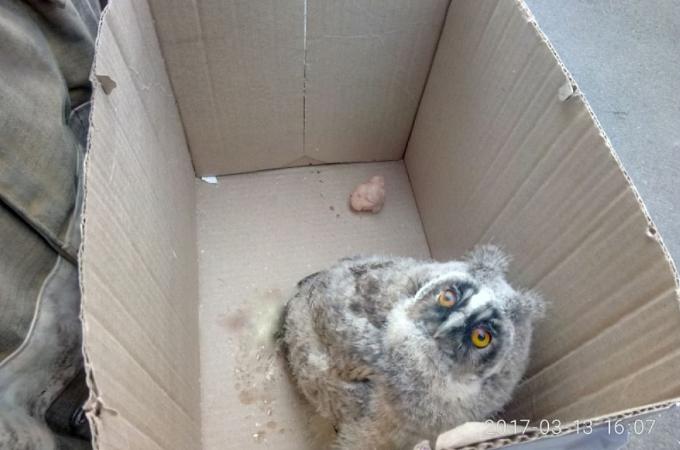 巣から落下した赤ちゃんフクロウ。無事に巣に帰すために大掛かりな作戦を実行する!