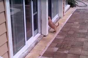 【動画】家の中に入りたくて仕方ない子犬を見かねて、ドッグドアを使いお手本を見せる犬。