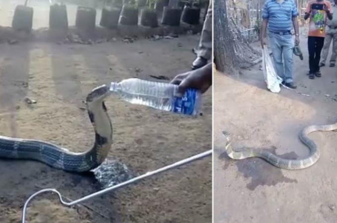 深刻な水不足により人里に降りてきたコブラ。困っているコブラに地元の人が水を与える姿が撮影される。