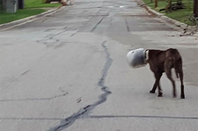 大きなプラスチック製の瓶が頭から外れなくなってしまった犬が見つかる