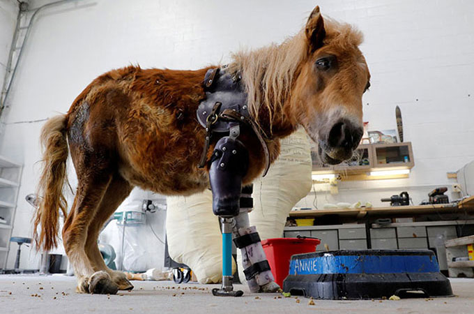 生後間もなく事故で1本の足を失ったポニーが義足をつけ最初の1歩を踏み出す