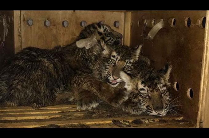 木製の箱に閉じ込められ空港に置き去りにされた絶滅の恐れのあるシベリアトラ