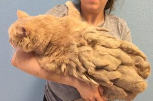 モップのような姿をした猫がシェルターに保護され、ゴワついた毛をカットされて、更に嬉しい出来事が!