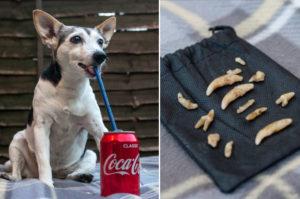 老犬に毎日コーラを飲ませていた飼い主。結果的に12本抜歯するも、現在も糖分を与える生活を続ける