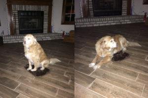 愛犬の為にベッドを飼ってきた飼い主さん。サイズが違いすぎるにも関わらず、愛犬の行動に計り知れない優しさを感じる!