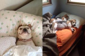 飼い主さんのベッドを堂々と占領し、何食わぬ顔でリラックスをする犬たちの画像20枚