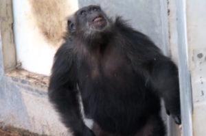 研究所のラボで50年以上も実験動物として狭い空間で閉じ込められていたチンパンジーたちが、初めて空と見る時。