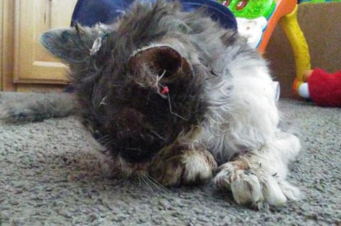 行方不明になった猫が数日後にあまりにも酷い虐待を受けた状態で家に帰宅。懸命な治療ののち、天国へと旅立つ