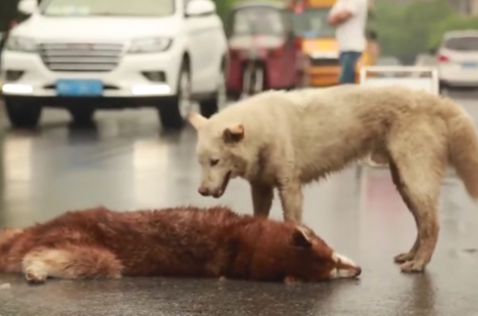 「ここに居たら危ないよ」車に轢かれてしまい動けない犬を必死に起こそうとするもう1匹の犬の姿に胸が苦しくなる