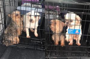 ブリーダーから「用済み」とされた母犬たち4匹を保護。今まで番号でしか呼ばれなかった犬たちが幸せを手に入れるまで