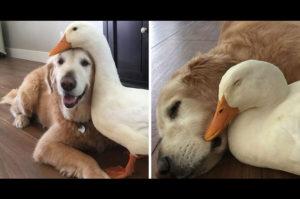 犬とアヒルの驚くべき友情は、ルックスではなく心が通じていることを示しています
