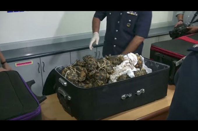 マレーシアの税関でスーツケースの中から330頭の生きたカメが発見される