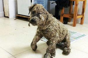 残酷な子供たちによって全身を工業用接着剤で覆われる拷問を受けた犬
