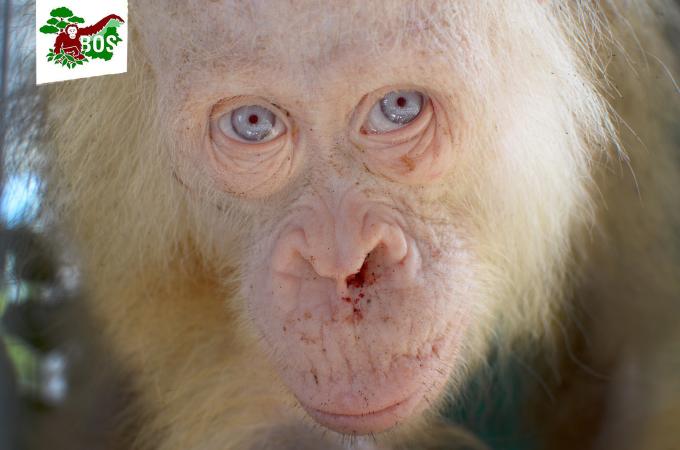 全身が真っ白のオランウータンが発見、保護され、その後、検査の結果「アルビノ」だと言うことが判明。