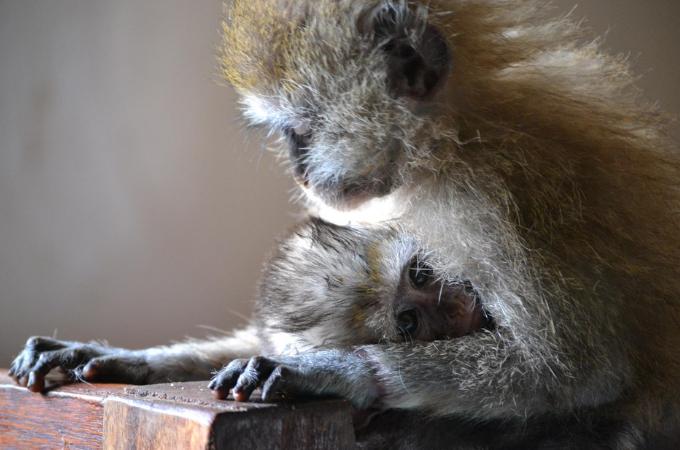 生きる為に人間の作物を食べてきた猿たち。そして、両親を殺された2匹の子猿が孤児となり、施設に保護される。