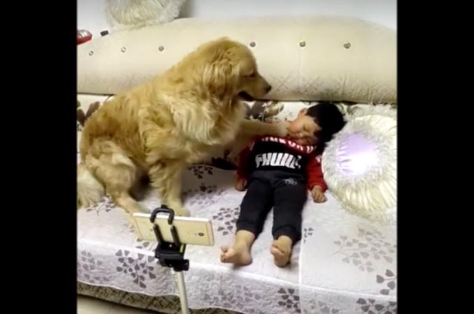 男の子の頬を触り、寝ている事を確認したゴールデンレトリバーがとった優しすぎる行動に誰もが癒される!