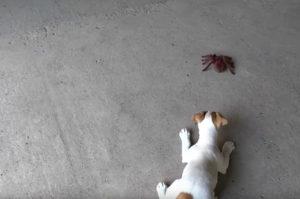 【動画】おもちゃの蜘蛛に警戒する子犬。しばらく様子を見て子犬がとった行動がこちら。