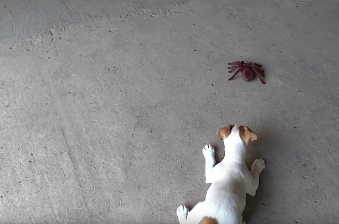 【動画】おもちゃの蜘蛛に警戒する子犬。しばらく様子を見て最終的に子犬がとった行動がこちら。