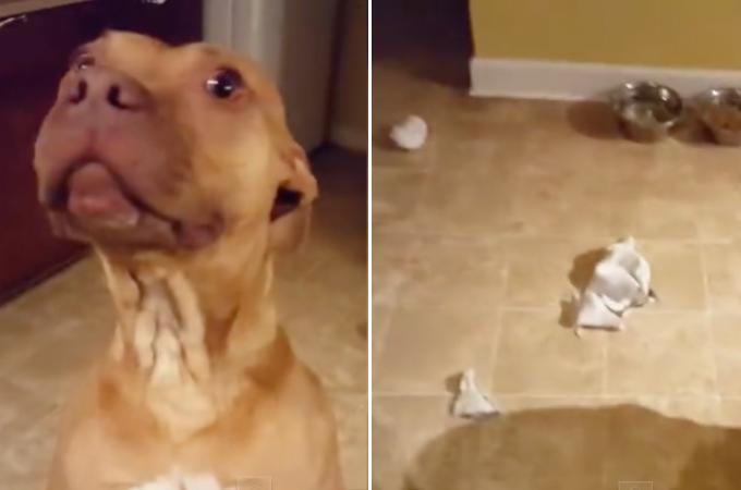 飼い主さんの留守中に部屋が散らかっていたのを問いただされるも反省の様子がない愛犬。そして、本当の犯人とは!