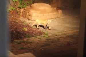庭のライトが点いたので覗いてみると、そこにいたのは子ギツネたち。犬の忘れていったボールで遊ぶ姿に思わずほっこり!