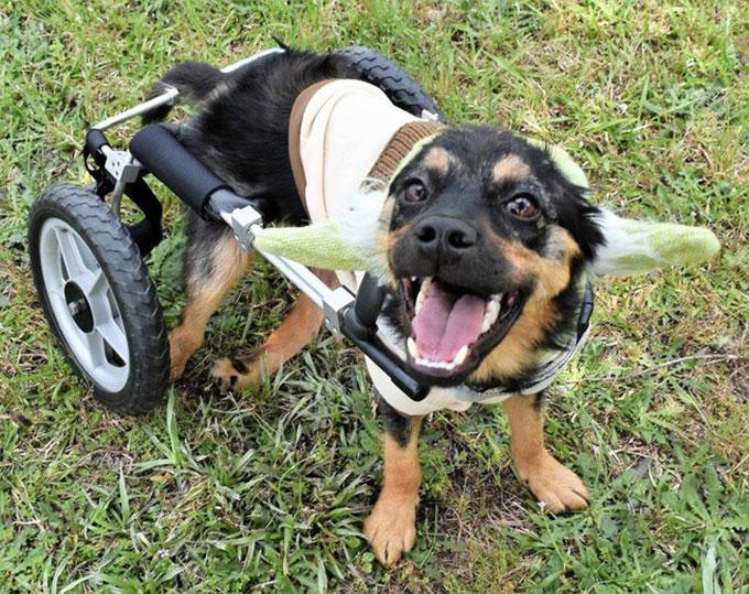 銃で撃たれ半身不随となったホームレス犬は愛のある家族を必要とする