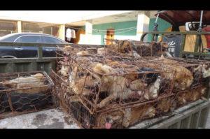 禁止されたはずの楡林犬肉祭での犬肉販売!いまも殺され続ける罪のない犬たち