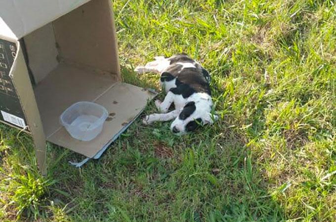 ダンボールに詰められ脱水状態で発見された10週齢になる子犬