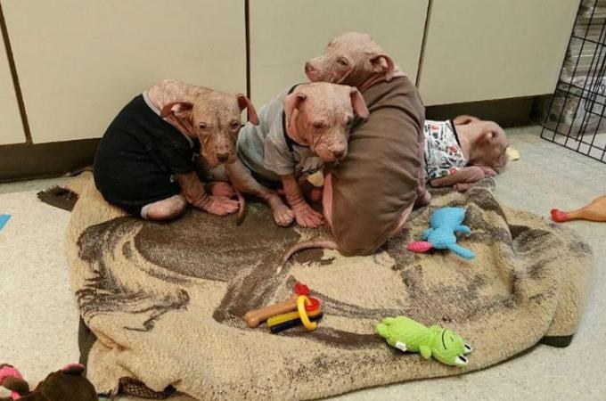 無責任な飼い主によって重度の皮膚病を患っていた子犬たち。たっぷりの愛情と懸命な治療によって生まれ変わる。