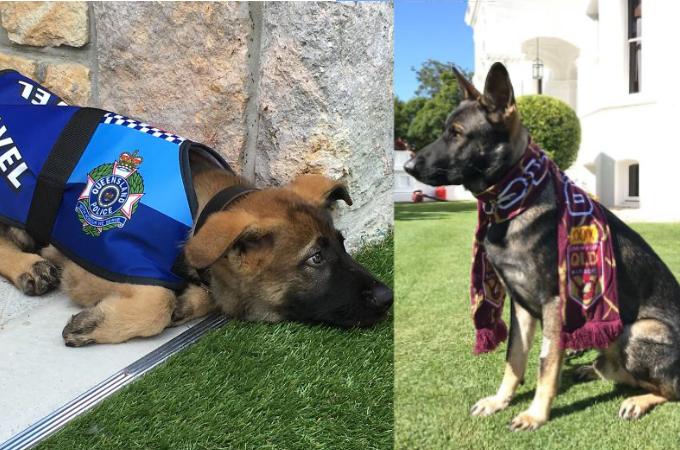 あまりにフレンドリーなため警察犬をクビになってしまった犬。しかしすぐに転職し、持ち前の明るさを発揮!