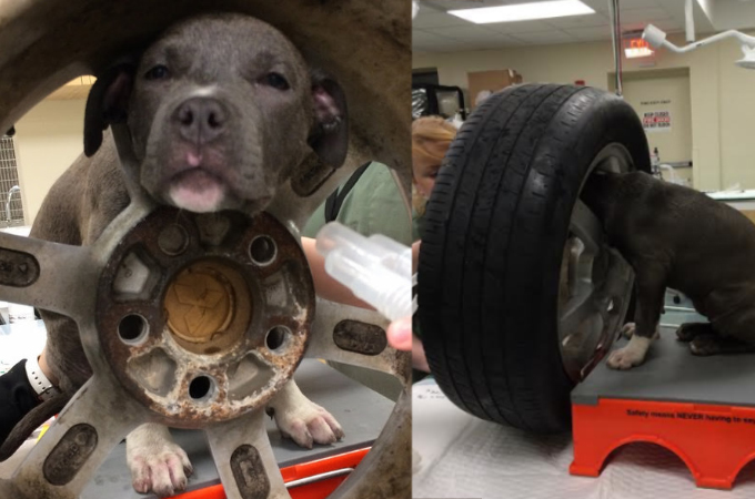 イタズラ好きの子犬がある日タイヤにはまってしまう!救助の依頼をたらい回しにされるも無事に救助される!