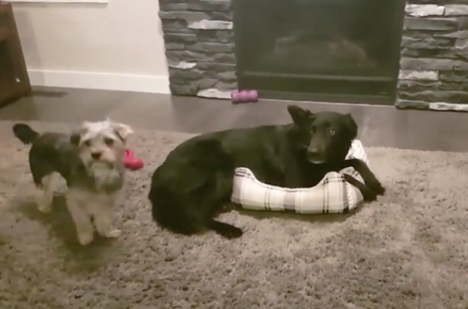 大型犬が小型犬のベッドを横取りし占領!何度か繰り返すうちに平和的な解決方法を見つけた2匹の様子がこちら!