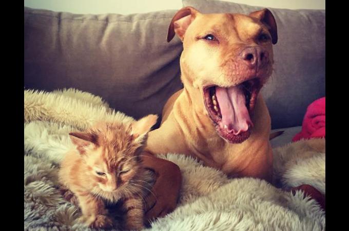 猫と暮らしたいと6年間も待ち続けたピットブル。ようやく夢が叶い幸せそうに暮らす様子に誰もがほっこり!