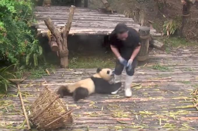 飼育員さんを邪魔しまくるパンダのを映した約1分の動画。そこに詰められたパンダの可愛すぎる行動に誰もが微笑む!