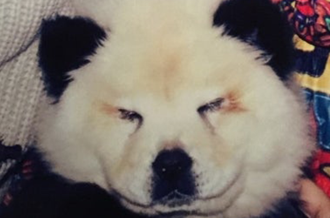 チャウチャウ犬を「パンダ風」に染めサーカスに出演させていたサーカス団。その犬が大きな受けたストレスとは。
