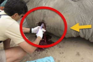弾丸で頭蓋骨を撃ち抜かれた象が人々の助けによって再び目覚める