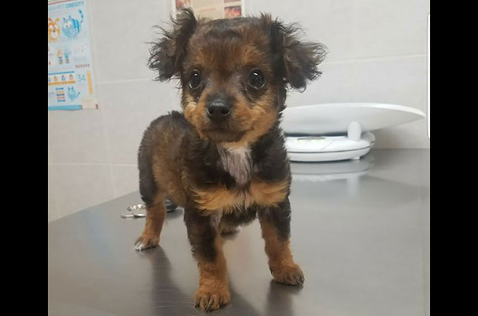 麻痺が発覚し殺処分のため飼い主に病院へ置き去りにされた子犬