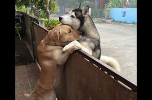 孤独だった犬は庭を抜け出し向かいに住む親友と抱き合う