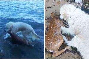 溺死寸前の傷ついた鹿の赤ちゃんを救うため躊躇することなく海へ飛び込んだ犬