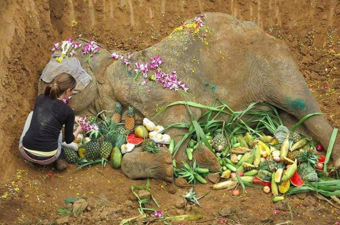60年もの長い間、観光客を背中に乗せ続けたゾウ。ようやく引退するも、わずか1ヶ月で息をひきとる。